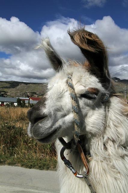 Ein Alpaka in den Anden von Chile