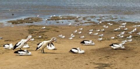 Pelicans in Cairns