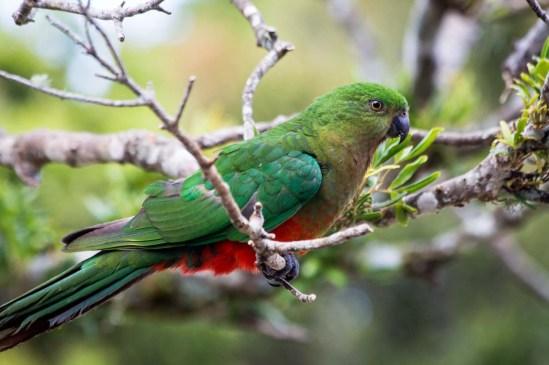 Mrs King Parrot