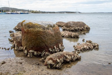 Oyster colony