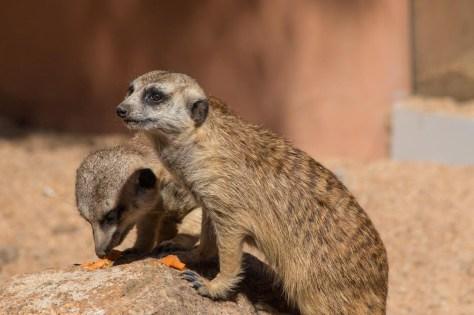 Meerkats having breakfast