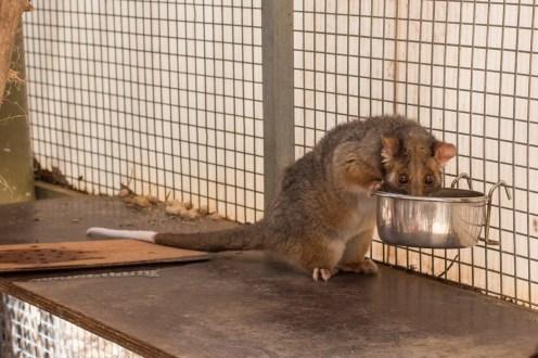A possum having lunch