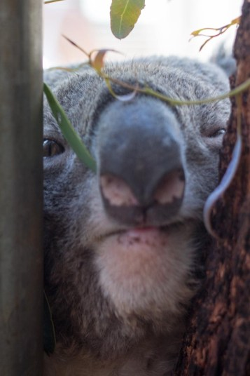 Koala trunk