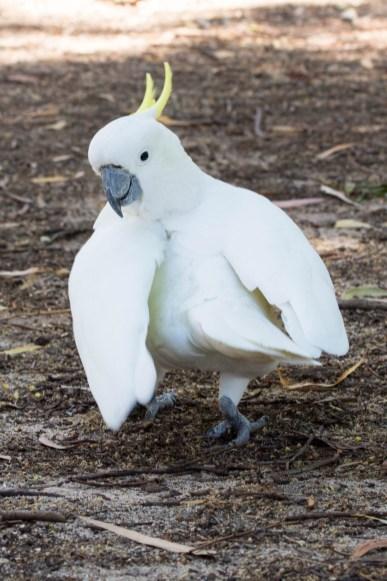 Sulphur-crested cockatoo 2