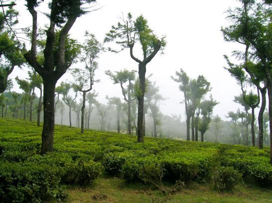 Nebel über der Teeplantage