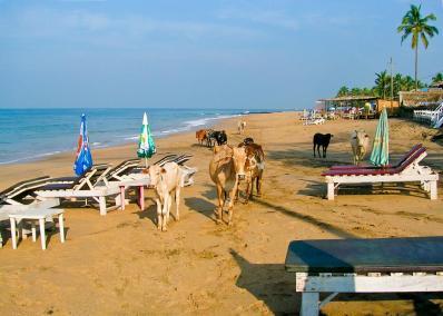 Immer diese Kühe am Strand!