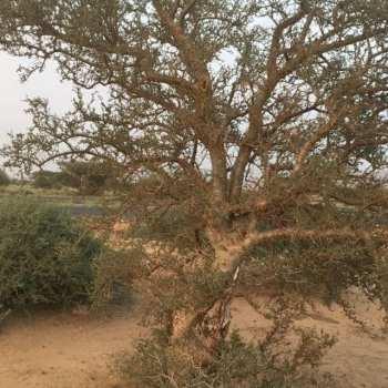 Oman Weihrauch Hojari
