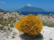 ... und gelber Ginster. Im Hintergrund die Insel Salina.