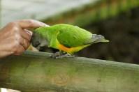 Genüsslich lässt sich der kleine Senegal-Papagei streicheln