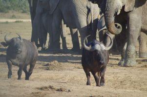 ... bis die Elefanten ihr Revier verteidigen...