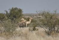 Logisch – Kamele zwischen Kameldornbäumen.