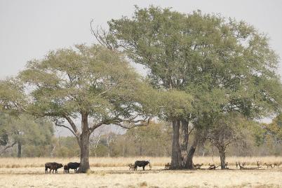 Die Tiere im Mosi Oa Tunya-Nationalpark suchen in der Mittagshitze Schatten.