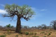 Immer wieder sehenswert sind die Baobabs in der Nähe von Gewässern.