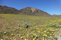 Das Namaqualand für uns in Gelb...