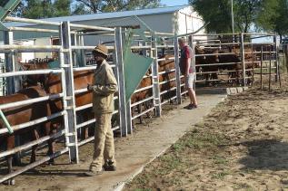 An der Waage ist ordentliches Gedränge, die Tiere werden nur einzeln vorgelassen.