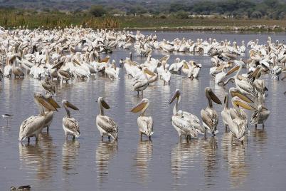 ... um bei dem Betrieb noch einen vernünftigen Landeplatz zu finden. Pelikane am Lake Manyara.
