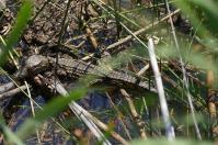 Das kleine Kroko ist erst wenige Stunden alt.