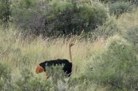 Im Gegensatz zu normalen Straußen war es nicht ganz einfach, die rotbräunlichen Tiere vor die Linse zu bekommen