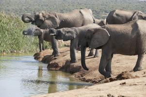 Rüssel hoch zum Abschied. Ein letztes Mal sind wir auf Safari im Addo Nationalpark.