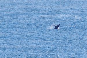 Hier fehlt das Tele der kaputten Kamera. Wale beim Spielen.