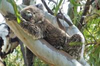 ... interessiert den Koala nur auf seinem linken Auge.
