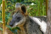 Neugierig schaut das Wallaby aus dem Busch.