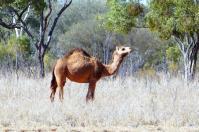 Kamele gibt es im Outback heute noch...