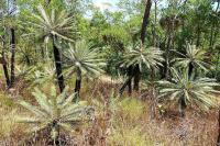 Diese Palmen haben schon einige Brände überstanden.