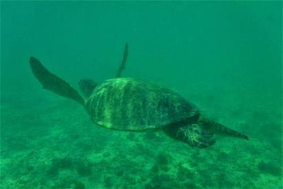 Majestätisch ziehen Schildkröten durchs Wasser.
