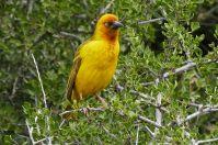 T006 Webervogel in Südafrika