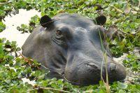 T008 Hippo an den Victoria-Wasserfällen