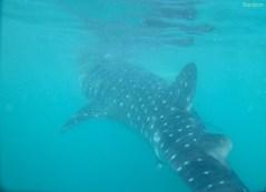 Jeder Walhai, hat ein eigenes Individuelles Muster