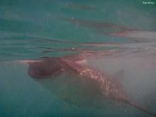 Walhai am Mampfen!