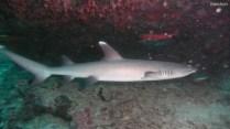 Weißspitzenhai