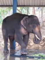Dieser Elefant wurde durch eine Tretmiene verletzt und wird hier wieder gesund gepflegt.