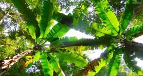 Bananenpalmen