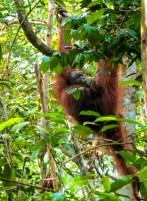 orang-utan-malaysia-borneo
