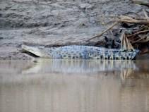 über zwei Meter langes Krokodil