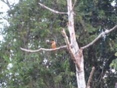 Stark Billed Kingfisher