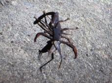 Ein Skorpion der gerade eine Heuschrecke futtert.