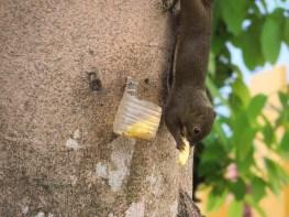 Ananas fürs Einhörnchen
