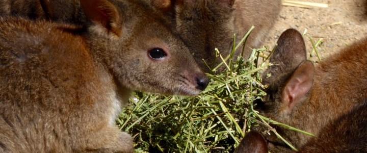 Wombats, Kängurus und Koalas