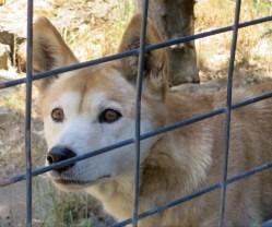 Wilder Dingo