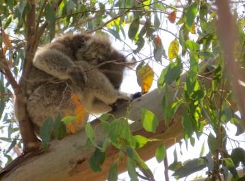 Und noch einer! Auch ein Koala muss ich putzen.