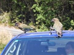 Keas nehmen den Wagen auseinander :-)