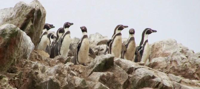Islas Ballestas: Galapagos für Arme