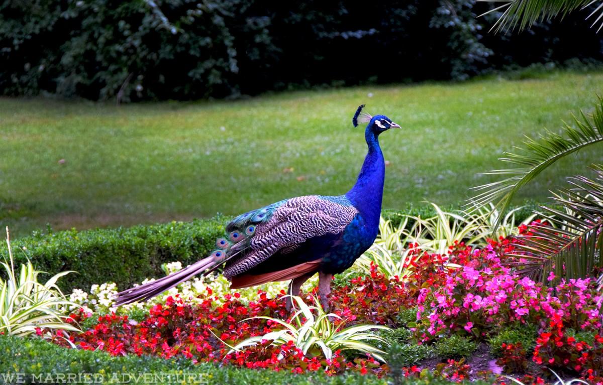 peacock01_wm