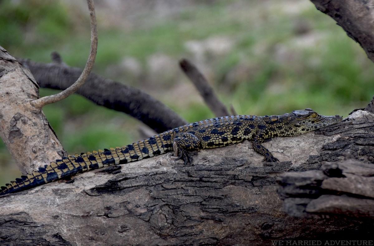 baby_crocodile01_wm