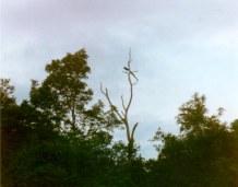 sm-peacock-tree
