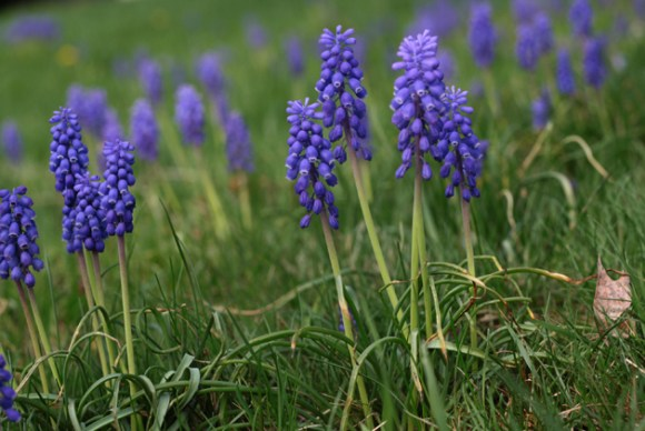 group-grape-hyacinth